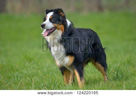 Australian shepherd on a lawn with grass