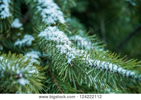 Pine branch with snow on i. The branch of a Christmas pine tree that is decorated with Bogdan Khmelnitsky Square on New Year's Eve. It is snow that fell between the needles. December 9 2015 Kiev Ukraine