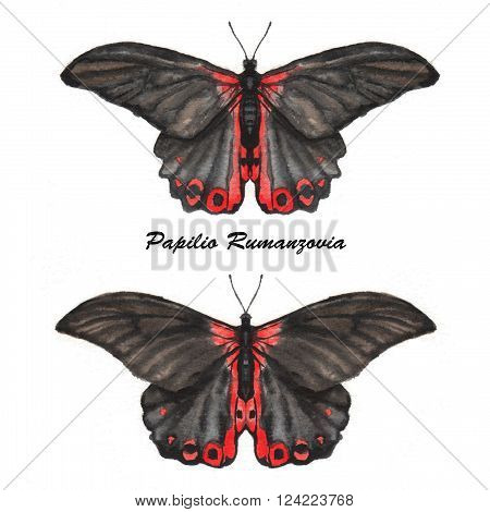 Hand drawn watercolor illustration of isolated tropical butterflies: black Papilio Rumanzovia