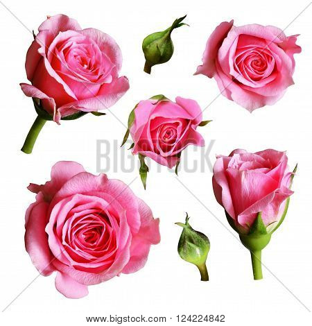 Set of pink rose flowers and buds isolated on white