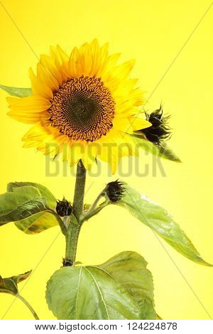 One sunflower with stem and leaves on yellow background