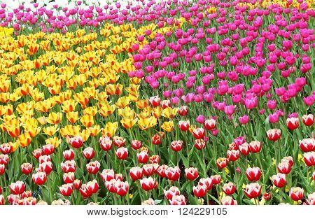 Flowerbed of colourful tulips in the spring garden