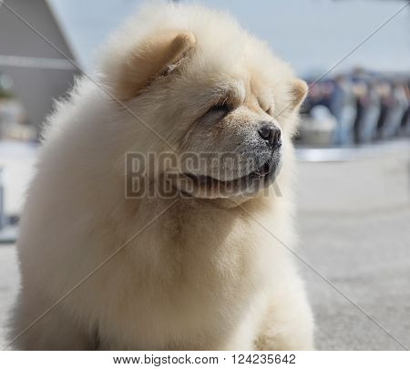 Beautiful portrait of beige dog breed chow chow