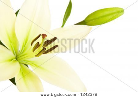 Lily With Copy Space