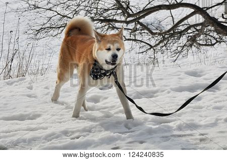 Walking Akita The Dog