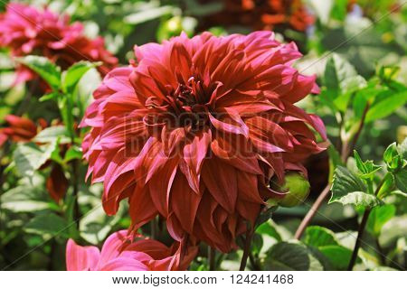 Dahlia Flowers. Hot Pink Dahlia Flower Against Green Leafs Background