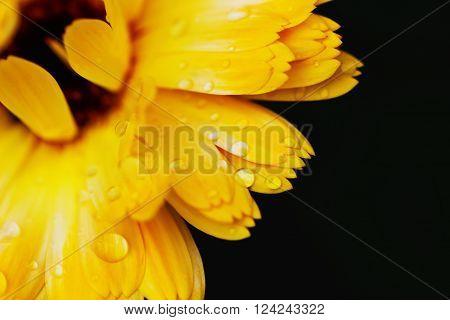 Beautiful flower of calendula with raindrops close-up. Marigold. Natural background. Macro shot. Selective focus
