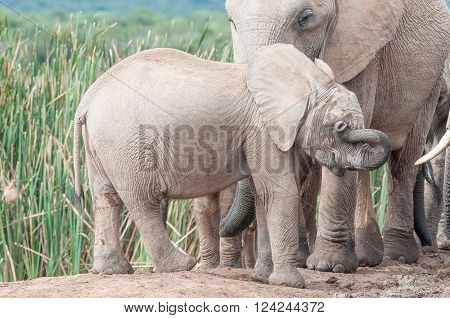An elephant calf, Loxodonta africana, wiping mud from its eyes