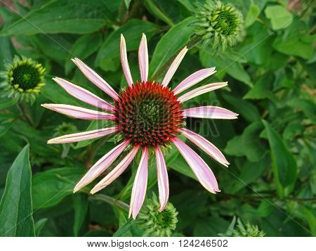 Blooming medicinal herb echinacea purpurea or coneflower. Russia.
