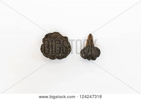 Polymetallic Nodules On White Background With Tooth Shark