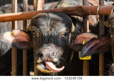 black cow closeup on a farm the agricultural industry