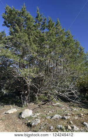 Phoenician Juniper Tree - Juniperus phoenicea Akames Forest Cyprus