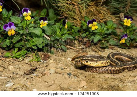 An Eastern Garter Snake basking in the garden.