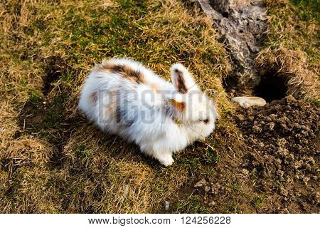 Rabbit digging a hole in early spring