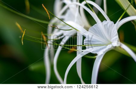 Crinum Lily Cape Lily Spider Lily Poison Bulb White flower