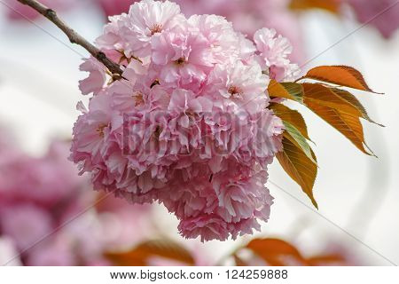 Pink Flowers Of Sakura Branches On Blury Background