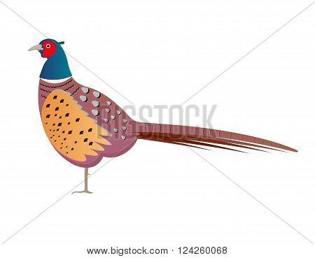 pheasant vector illustration. pheasant isolated on white background