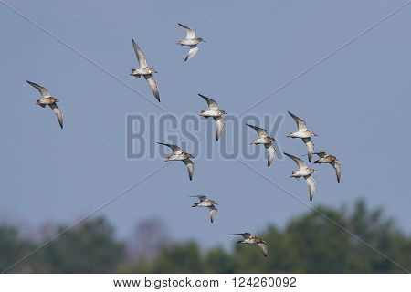 Ruffs (Philomachus pugnax) in a flock in flight with blue skies in the background