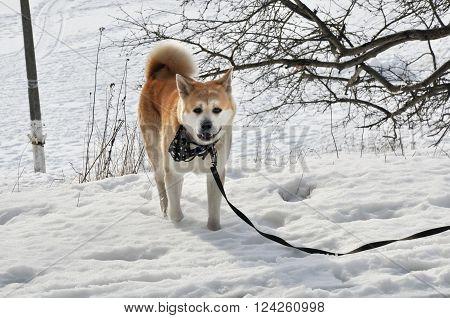 Walking akita the dog. Walking on the leash adult male of japanese akita inu on the snow