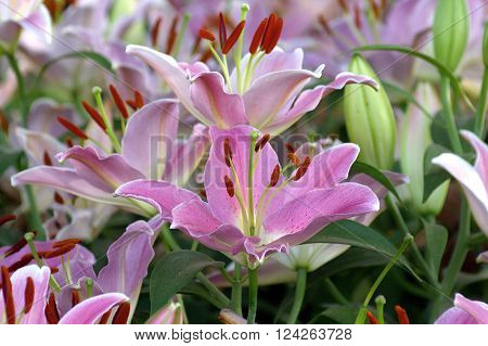 Beautiful pink lily flower in green garden.with pistil and stamen in composition.