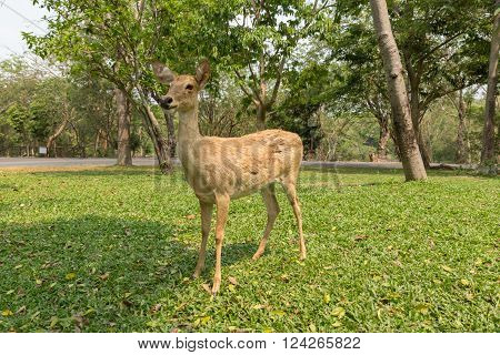 burmese brow-antlered deer, Eld 's deer, Thailand