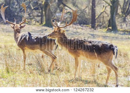 Wild Deer In New Forest National Park