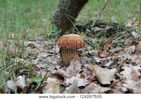The boletus edulis (cep or porcino) in the forest (Ukraine).This is a very popular delicious meaty mushroom.