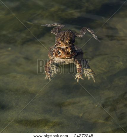 A pair of Eastern American Toads (Anaxyrus americanus) mating during the springtime.