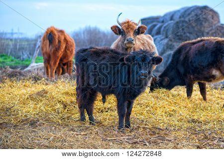 black calf (meat breed) at farm .