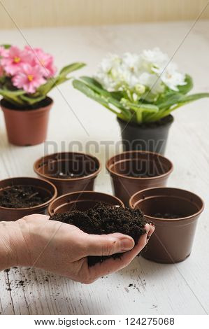 Handful of soil in old female hand. Old woman's hand planting home plants indoors. Several brown empty flower pot heap of soil light wooden background. Blooming violet. Earth Day.