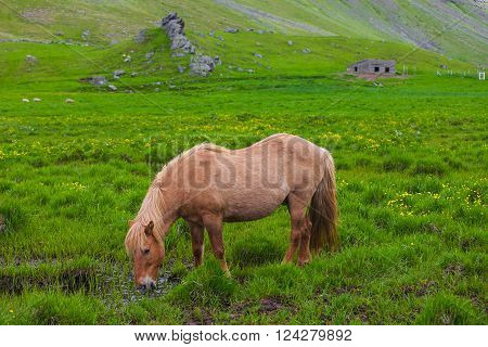A lovely  Icelandic Horse in afield on sunny day