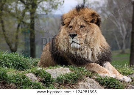 A male lion in a nature reserve resting on a hilltop attentive of something in the distance