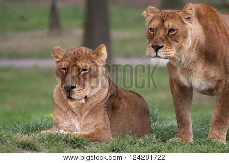 Two female lions on a nature reserve.