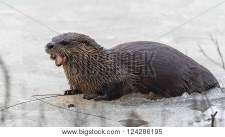 North American river otter (Lontra canadensis) in the wild.  Water mammal with wet fur rests atop a frozen Eastern Ontario lake of ice & spring corn snow while eating a fresh frozen fish.