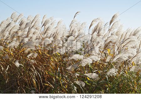 Amur silver grass (Miscanthus sacchariflorus). Called Japanese silver grass also