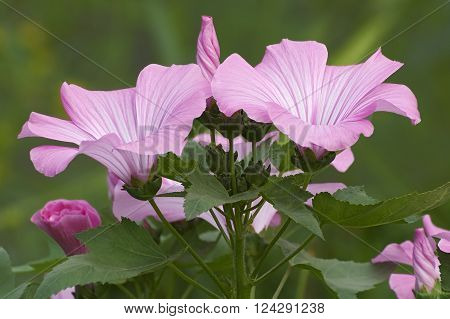 Flowers and buds of Annual mallow (Lavatera trimestris)