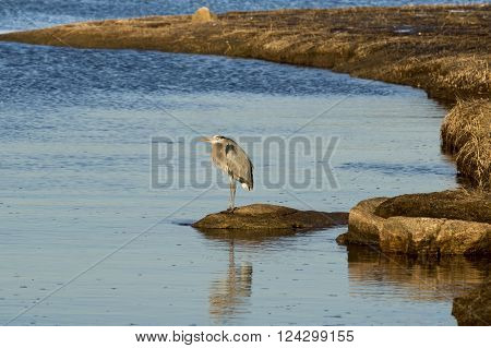 Great Blue Heron relaxing on rock as sunset nears