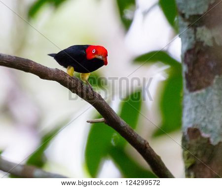 Red-capped Manakin (Ceratopipra mentalis) during a courtship display in Panama