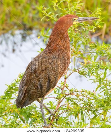 Rufescent Tiger-Heron (Tigrisoma lineatum) perched on a branch