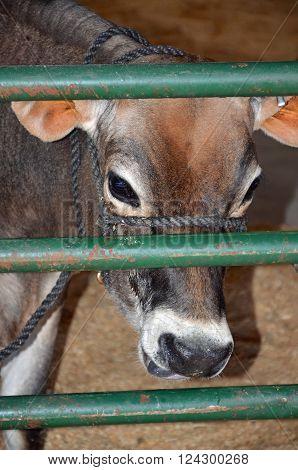 A cow looking through a green farm gate