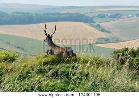 Red deer (Cervus elaphus) stag leaping in English countryside. Britain's largest mammal jumping in front of spectacular view across fields in England