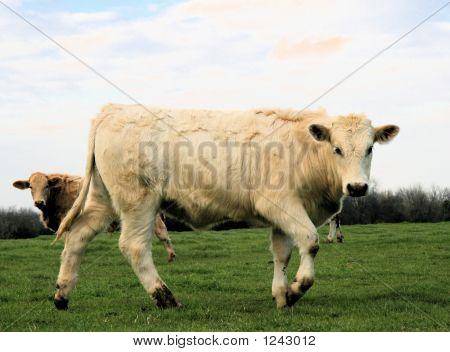 Running Charolais Steer