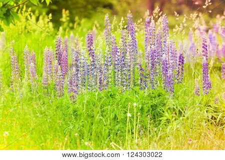 Sweet Lupins And Meadow Flowers