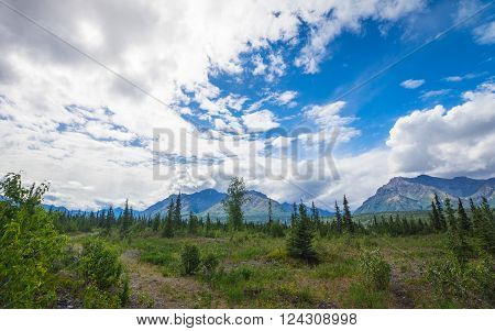 Green pine trees grow in an arctic meadow in the far north.