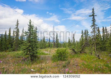 Evergreens fill a small meadow on a hiking trail through the Alaskan wilderness.