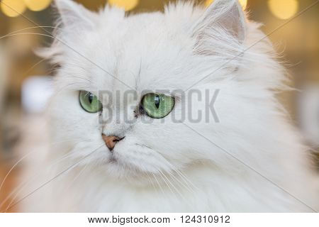 Little White Persian cats looking something outside