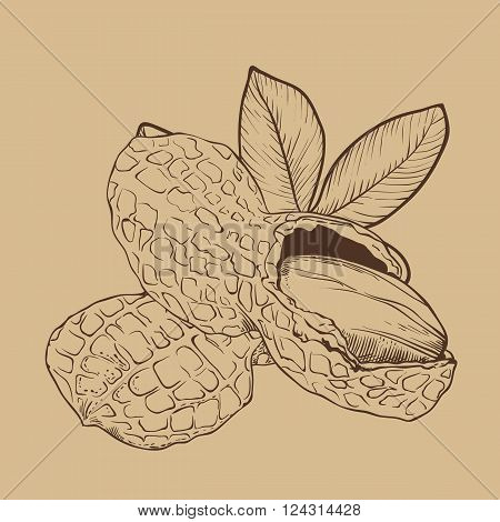Peanut vector isolated on brown background. Peanut seeds. Engraved vector illustration of leaves and nuts of peanut. Peanut in vintage style.