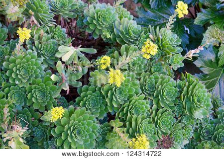 Southern California Hen and Chicks succulents covering ground with watery thick leaves and yellow flowers