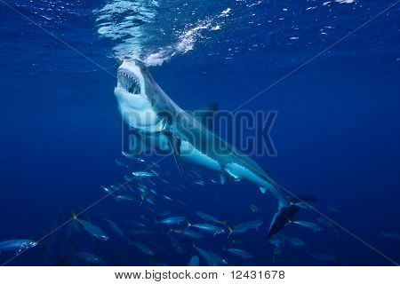Great White Shark feeding at Guadalupe Island