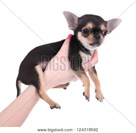 Female hand holding a small chihuahua puppy on the white background